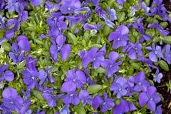 Blått för dig Horned Violet (altfiolcornutaen) Arkivbild