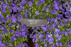 Blått för dig Horned Violet (altfiolcornutaen) Arkivfoto