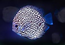 Blått för färg för akvariet Diskus för exotisk fisksvart isolerade vita bakgrundsnaturdjuret Arkivbild
