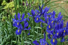 Blått för holländsk iris Royaltyfria Bilder