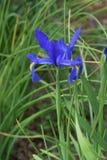 Blått för holländsk iris Arkivfoto