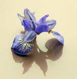 Blått för iriers för knoppar för blommasnittblommor skuggar reflexion Fotografering för Bildbyråer