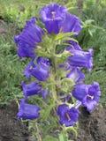 Blått för klockblomman (blåklocka) blommar Arkivfoto