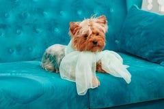 Blått för pilbåge för soffa för terrier för husdjur för hund för färg för turkos för soffa för vovvefotoperiod tiffany blåa royaltyfri fotografi