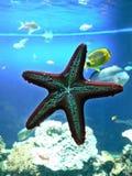 Blått för undervattens- detalj för hav för marin- liv för sjöstjärnaakvarium röda royaltyfri bild