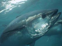 Blått-fena tonfisk arkivbild
