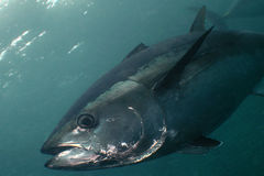 Blått-fena tonfisk Fotografering för Bildbyråer
