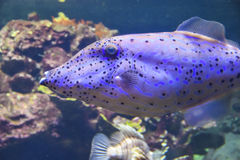 Blått fiskakvarium Arkivfoton