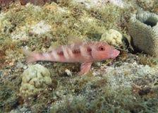 Blått-fodrad Goatfish Royaltyfria Foton