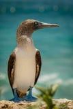 Blått-footed boobie i Ecuador Arkivfoton