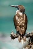 Blått-footed boobie i Isla de la Plata, Ecuador Fotografering för Bildbyråer