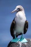 Blått-footed dumskalle på Galapagos öar Arkivbilder