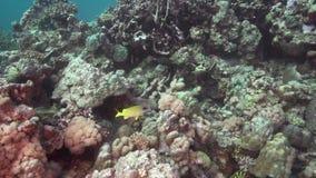 Blått-gjord randig snapperLutjianus kasmira i korall av Röda havet Sudan arkivfilmer