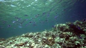 Blått-gjord randig snapperLutjianus kasmira i korall av Röda havet Sudan stock video