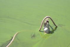 Blått-gräsplan algblom Royaltyfria Bilder