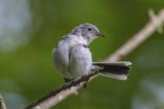 Blått-grå färger Gnatcatcher Fotografering för Bildbyråer
