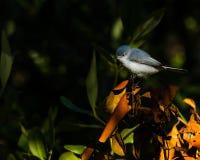 Blått-grå färger Gnatcatcher Arkivfoton