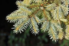 Blått granträd, slut upp Royaltyfri Fotografi