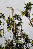 Blått hägersammanträde uppe på en jätte- ek Arkivbild