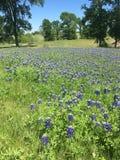 Blått hättafält i Texas royaltyfri bild