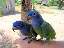 Blått-hövdad Pionus för papegoja två menstruus i amasonen arkivfoto