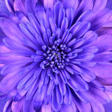 blått huvud för blomma för chrysanthemumcloseupdetalj royaltyfri fotografi