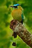 Blått-krönade Motmot, Momotusmomota, stående av den lösa naturen för trevlig stor fågel, härlig färgad skogbakgrund, konstsikt, P arkivbilder