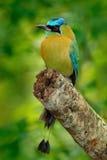 Blått-krönade Motmot, Momotusmomota, stående av den lösa naturen för trevlig stor fågel, härlig färgad skogbakgrund, konstsikt, P royaltyfri foto