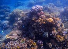 Blått landskap för havsvatten med korallreven Ungt korallbildande med havsväxt Arkivfoto