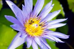 blått liljavatten Royaltyfri Foto