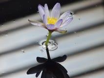 blått liljavatten Royaltyfri Fotografi