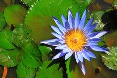blått lotusblommavatten Arkivbild