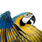 blått macawyellowbarn royaltyfria foton