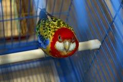 Blått med den gula papegojan i en bur som ser direkt på oss arkivbild