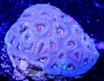 Blått med rosa färgmunnen Brain Coral Arkivfoton