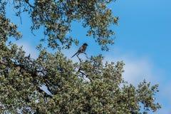 Blått-nosed sätta sig i skuggan på några filialer av ett träd arkivfoto