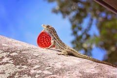 Blått och apelsin krönade Costa Rican Iguana Royaltyfria Foton