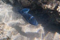 Blått-och-guld- triggerfish Fotografering för Bildbyråer