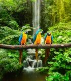 Blått-och-guling ara Arkivbild