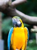 Blått-och-guling ara Fotografering för Bildbyråer