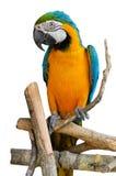 Blått-och-guling ara Royaltyfri Bild