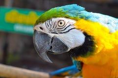 Blått-och-guling ara Arkivfoto