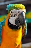 Blått-och-guling ara Royaltyfria Bilder