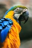 Blått-och-guling ara Royaltyfri Foto