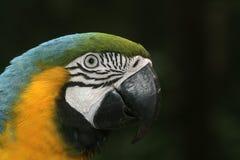 Blått-och-guling ara, munkhättaararauna Fotografering för Bildbyråer