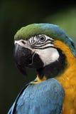 Blått-och-guling ara, munkhättaararauna Arkivbilder