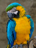 Blått-och-guling ara (munkhättaararaunaen), arapapegoja Arkivbilder