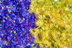 Blått och guling - blåklint och lind Arkivbilder