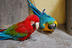 Blått-och-guling för två papegojor ara och röd-och-gräsplan ara Royaltyfri Foto