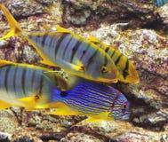Blått och guling fiskar i akvarium Fotografering för Bildbyråer